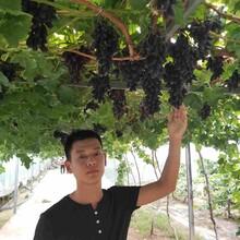 克倫生葡萄苗怎么種植?圖片