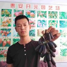 葡萄樹苗公司報價圖片