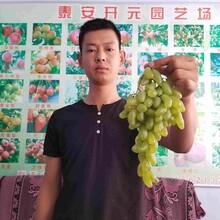 夏黑葡萄苗什么品种好?图片