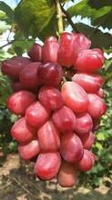 唐山市葡萄树苗厂家图片