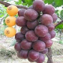 梅州市葡萄樹苗市場行情圖片