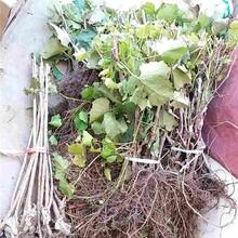 庆阳市嫁接葡萄苗种植方法图片