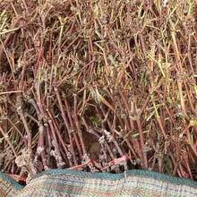 贵州省葡萄树苗价格图片