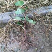 常州市台湾长果桑树苗供应厂家图片