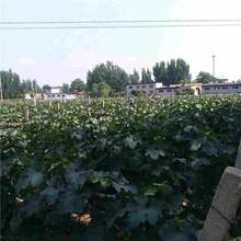 郴州市果桑苗市场行情图片