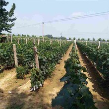欽州市陽光玫瑰葡萄苗價格圖片