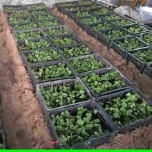 四川省果桑樹苗種植方法圖片