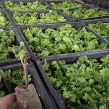 舟山市葡萄树苗供应厂家图片