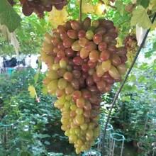 驻马店市红提葡萄苗种植方法图片