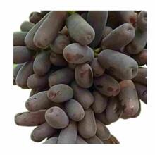 宣城市果桑苗供应厂家图片