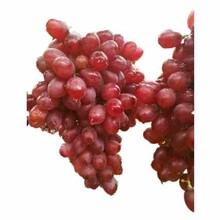 滁州市青提葡萄苗供应厂家图片