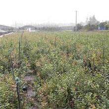 中卫市蓝莓苗/泰安开元园艺场图片