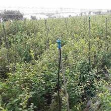 滁州市蓝莓种苗价格图片