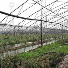 5年蓝莓苗/文冠果图片