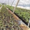 茂名市5年蓝莓苗种植方法
