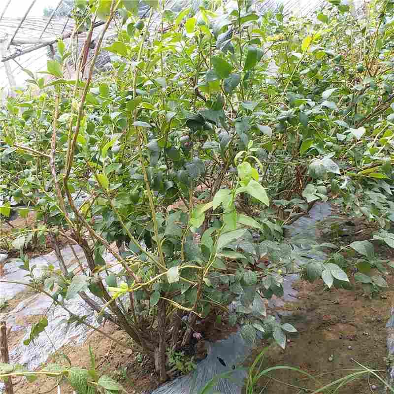 潍坊市莱克西蓝莓苗市场行情
