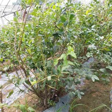 莱克西蓝莓苗/中华钙果厂家图片
