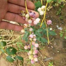 黑巴拉多葡萄苗脱毒蓝莓苗图片