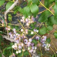 北海市奥尼尔蓝莓苗诚信商家图片
