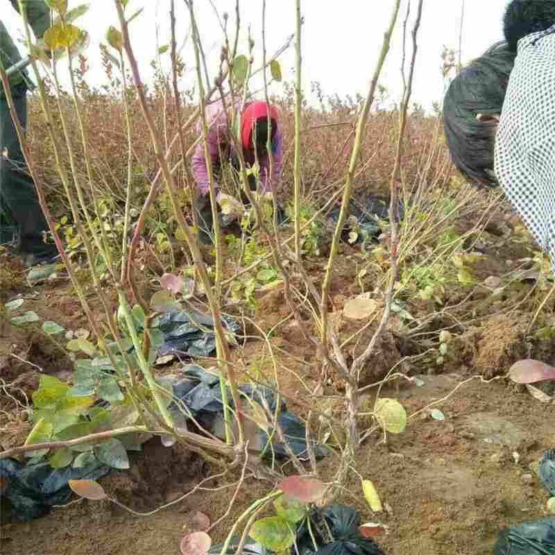 5年蓝莓苗组培蓝莓苗