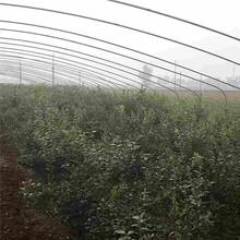 克拉玛依市蓝莓树苗批发图片