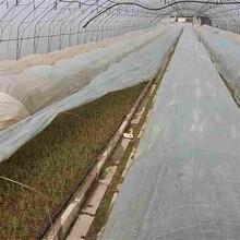 乐山市奥尼尔蓝莓苗厂家图片