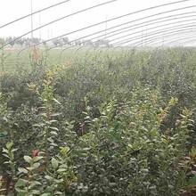 柳州市2年蓝莓苗种植方法图片