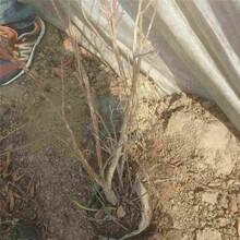 新余市脱毒蓝莓苗-开元苗木图片