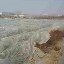 薄雾蓝莓苗/中华钙果厂家图片