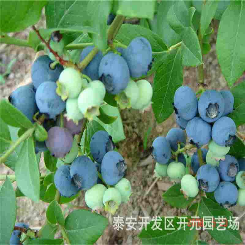 白银市5年蓝莓苗公司报价