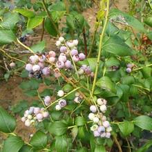 宝鸡市莱格西蓝莓苗厂家图片