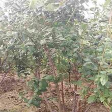 常州市2年蓝莓苗批发图片