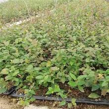 都克蓝莓苗批发/供应软枣猕猴桃图片