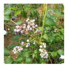 蓝莓树苗/台湾长果桑树苗图片