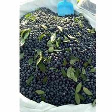三门峡市钱得乐蓝莓苗信誉厂家图片