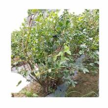 金华市莱格西蓝莓苗种植方法图片