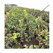 杭州市蓝莓种苗公司报价图片