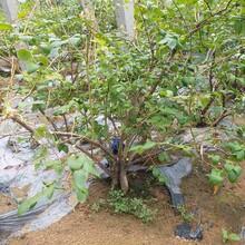 郴州市莱格西蓝莓苗供应厂家图片