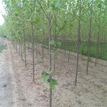 汉中市5公分法桐供应厂家图片