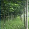 宁波市速生法桐种植方法