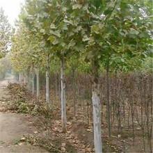 咸宁市10公分法桐/泰安开元园艺场图片