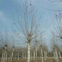 铜川市法桐树图片