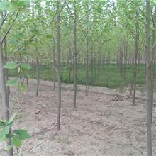 杭州市5公分法桐供应厂家图片