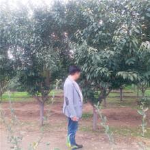 青岛市高杆樱花供应厂家图片