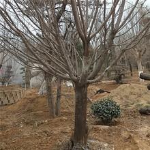 沧州市紫叶矮樱基地批发图片