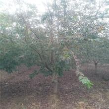 湘西樱花树厂家图片