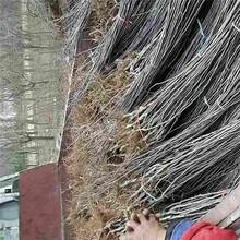 宣城市4公分苹果树基地批发图片