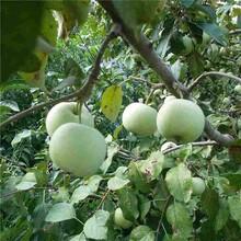 西双版纳润太一号苹果苗/泰安开元园艺场图片