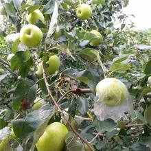 阿拉善柱状苹果苗/泰安开元园艺场图片