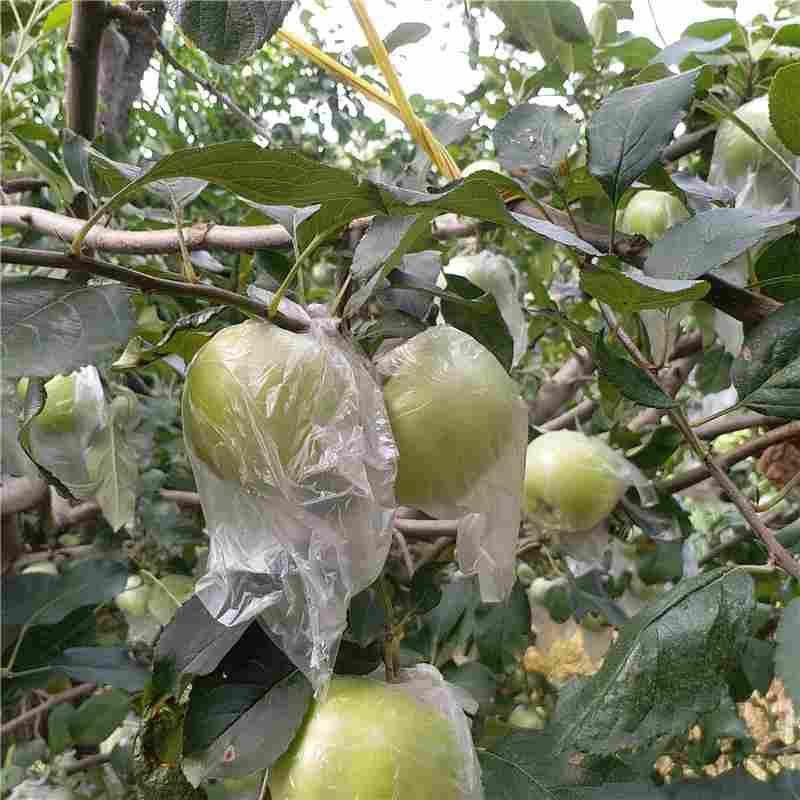 宣城市3公分苹果树种植